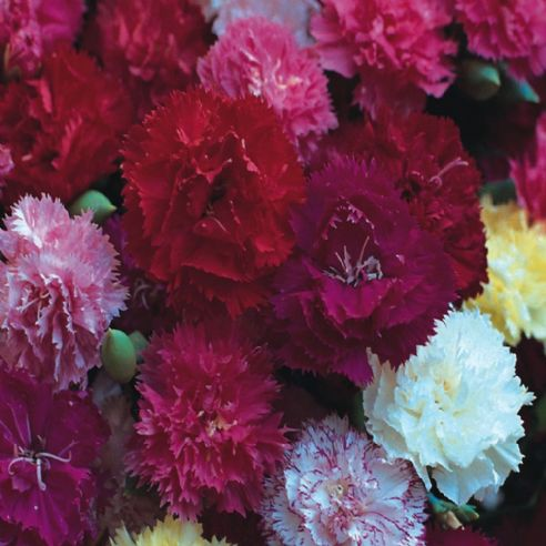Carnation - Hardy Border Mix